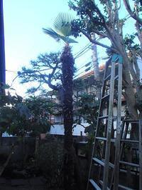 東電の引き込み線に触れる高さになったシュロの樹の伐採 - 快適!! 奥沢リフォームなび