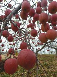 長野そぞろ歩き:リンゴの収穫 - 日本庭園的生活