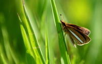 小雪朔風払葉(きたかぜこのはをはらう) - 紀州里山の蝶たち