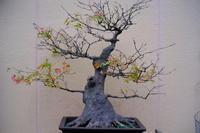 盆栽 - summicron