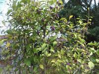紫式部 - だんご虫の花