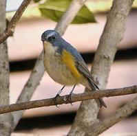 ルリビタキ成鳥はわかりやすい - 在りし日