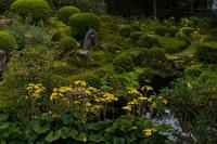 三千院の石蕗 - 花景色-K.W.C. PhotoBlog