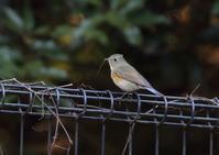 ルリビタキ - 写真で綴る野鳥ごよみ