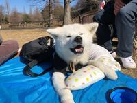 12月の始まりは寒かった - 秋田犬「大和と飛鳥丸」の日々Ⅱ