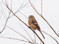 谷中湖にいたベニマシコ - コーヒー党の野鳥と自然パート3