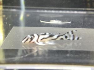 201203熱帯魚めだか水草 - ペットメイト西宮店の生体ブログ
