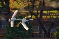 みちのく髙松白鳥たち2 - みちのくの大自然