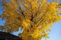 「黄葉(こうよう)を求めて-西本願寺から東本願寺へ-」 - ほぼ京都人の密やかな眺め Excite Blog版