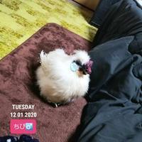寝る前のちび烏骨鶏 - 烏骨鶏かわいいブログ