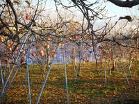 りんごサンふじ収穫はまもなく終了、ぶどうの防寒対策 - 信州ピース&ナチュラルだより