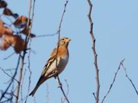 樹間を飛び交うアトリ - コーヒー党の野鳥と自然パート3