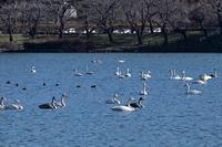 みちのく髙松白鳥たち3 - みちのくの大自然