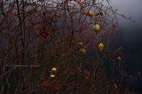 野沢温泉村冬目前の村の木の実 - 野沢温泉とその周辺いろいろ2