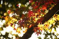 ヒマラヤ桜 - 写真の記憶