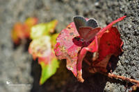 秋色と、クロツバメシジミ(2020/11/late) - 里山便り
