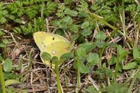公園の蝶モンキチョウ - 続・蝶と自然の物語