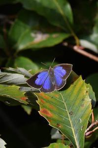 ムラサキシジミ - 続・蝶と自然の物語