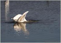 ダイサギの漁-1 - 野鳥の素顔 <野鳥と日々の出来事>