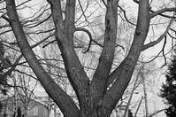 冬の裸木と桜の朽木と今学期も後半はリモートになる授業 - 照片画廊