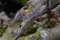 今季初撮り、ミヤマホオジロ(深山頬白) - 野鳥などの撮影記録