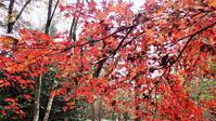 イロハモミジ・シロダモ - 里山の四季