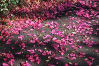 花も散る、 - FUTU no PHOTO
