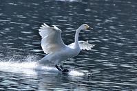 みちのく髙松白鳥たち4 - みちのくの大自然