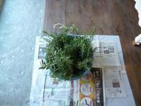 ローズマリーのリース作り - サンカクバシ 土と私の日記
