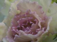 12月の庭vol.2 葉ボタンの成長 - グリママの花日記