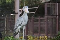 上野動物園でハシビロコウに会ってきました - pottering