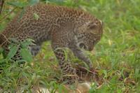 ケニアでサファリ47、生後1ヵ月の赤ちゃんヒョウ、ルルちゃん - 旅プラスの日記