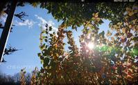 初めての葉牡丹 - どんぐりの木の下で……