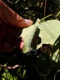 ガガイモを食すアサギマダラの幼虫 - 蝶超天国