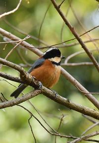 公園のヤマガラ - 阪南カワセミ【野鳥と自然の物語】