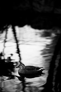 水鳥の季節 - 節操のない写真館