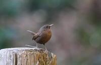 冬場のMFの里山公園にてミソサザイに逢う - 私の鳥撮り散歩