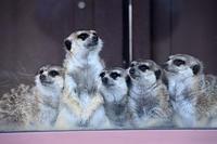 ミーアキャット - 動物園へ行こう