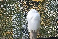 旭山動物園の「シロフクロウ」~10月 - My favorite ~Diary 3~