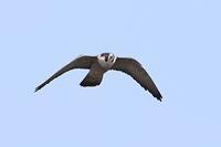 ハヤブサ・ノスリ - 野鳥の視線