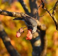ヒヨドリジョウビタキ - 打出頑爺の鳥探し