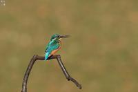 カワセミの枝を乗っ取るセグロセキレイ - 野鳥公園
