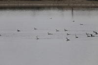 MFの沼にてカンムリカイツブリを撮りに - 私の鳥撮り散歩