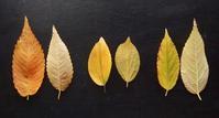 #比べる #見分ける #分類体系 #APG #ニレ科 #アサ科『欅、榎、椋木』 - 自然感察 *nature feeling*