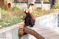 旭山動物園のレッサーパンダ~10月 - My favorite ~Diary 3~