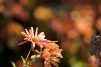 秋色の花 - 節操のない写真館