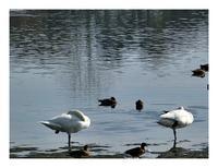 日曜散歩(白鳥と紅葉) - あおいそら