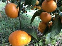 晩秋の収穫待ち - 島暮らしのケセラセラ