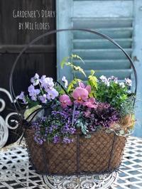 Mauve pink day - Gardener*s Diary