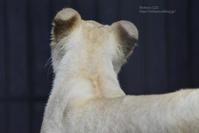 2020.7.26 東北サファリパーク☆ホワイトライオンのイチゴちゃん【White lions】 - 青空に浮かぶ月を眺めながら